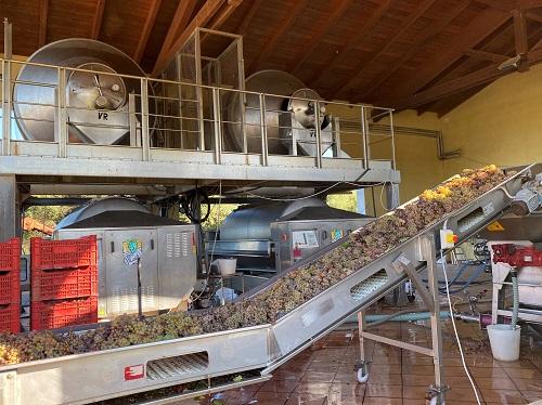カピケーラブドウ収穫